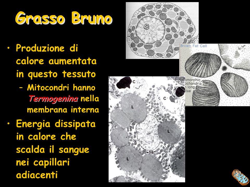 Grasso Bruno Produzione di calore aumentata in questo tessuto Termogenina –Mitocondri hanno Termogenina nella membrana interna Energia dissipata in ca