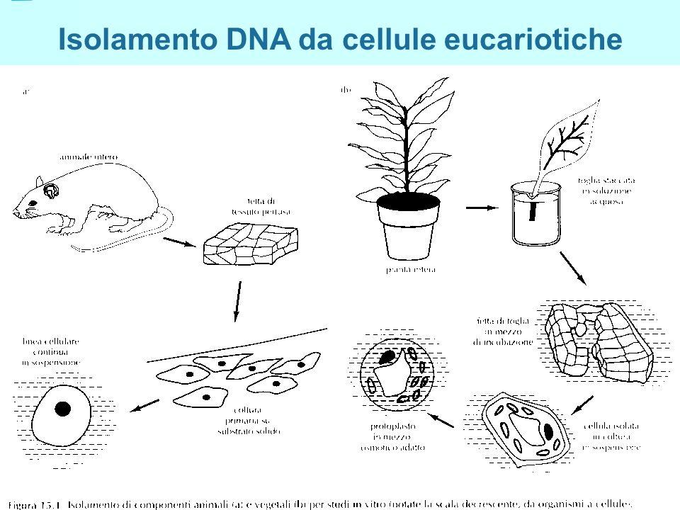 Isolamento DNA da cellule eucariotiche