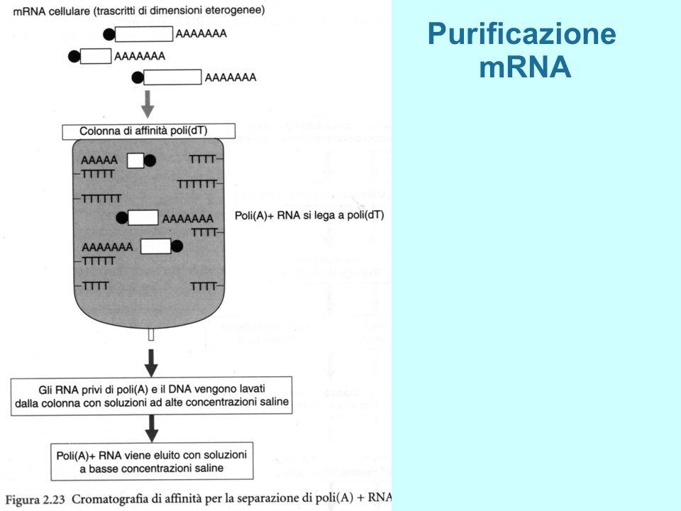 Purificazione mRNA