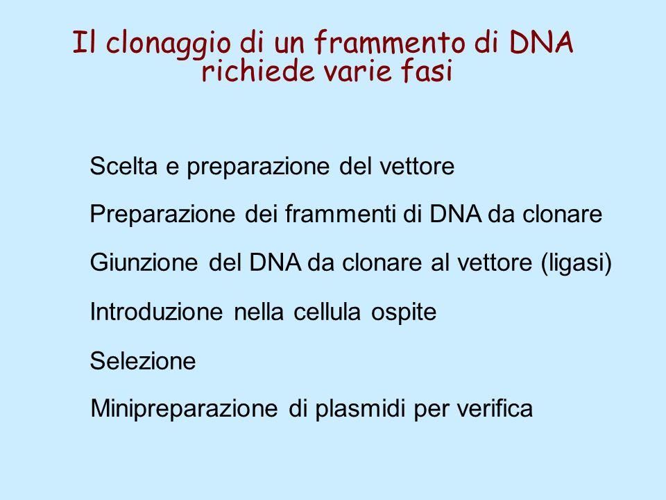 Preparazione dei frammenti di DNA da clonare Giunzione del DNA da clonare al vettore (ligasi) Introduzione nella cellula ospite Selezione Scelta e pre