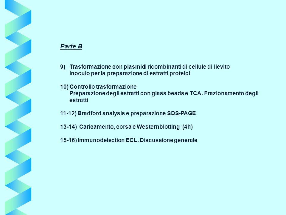 Parte B 9) Trasformazione con plasmidi ricombinanti di cellule di lievito inoculo per la preparazione di estratti proteici 10) Controllo trasformazion