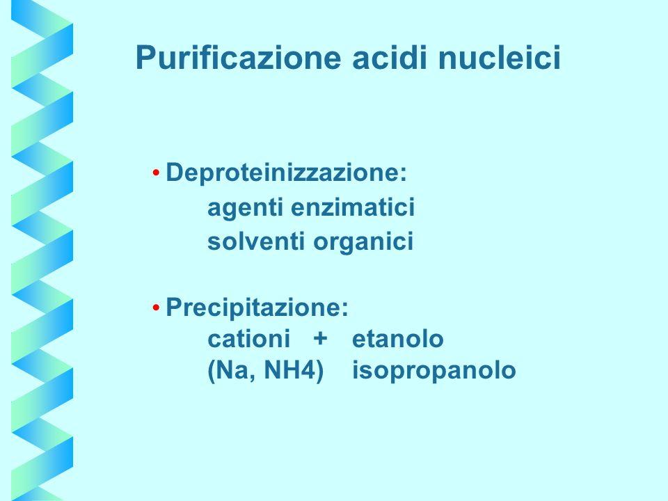 Deproteinizzazione: agenti enzimatici solventi organici Precipitazione: cationi +etanolo (Na, NH4)isopropanolo Purificazione acidi nucleici