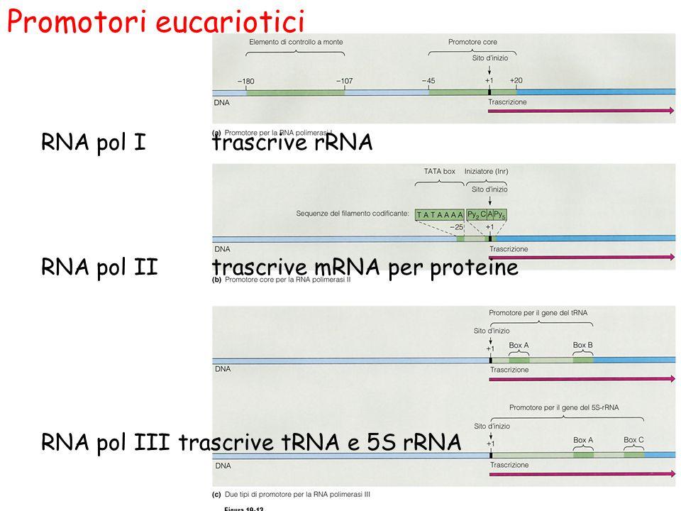 Promotori eucariotici RNA pol I trascrive rRNA RNA pol II trascrive mRNA per proteine RNA pol III trascrive tRNA e 5S rRNA