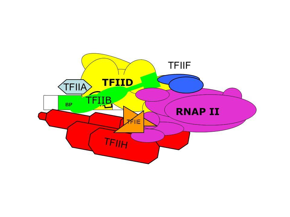 ~24bp TATABRE InrDPE TFIIH TFIID TFIIA TFIIB TFIIF RNAP II TFIIE