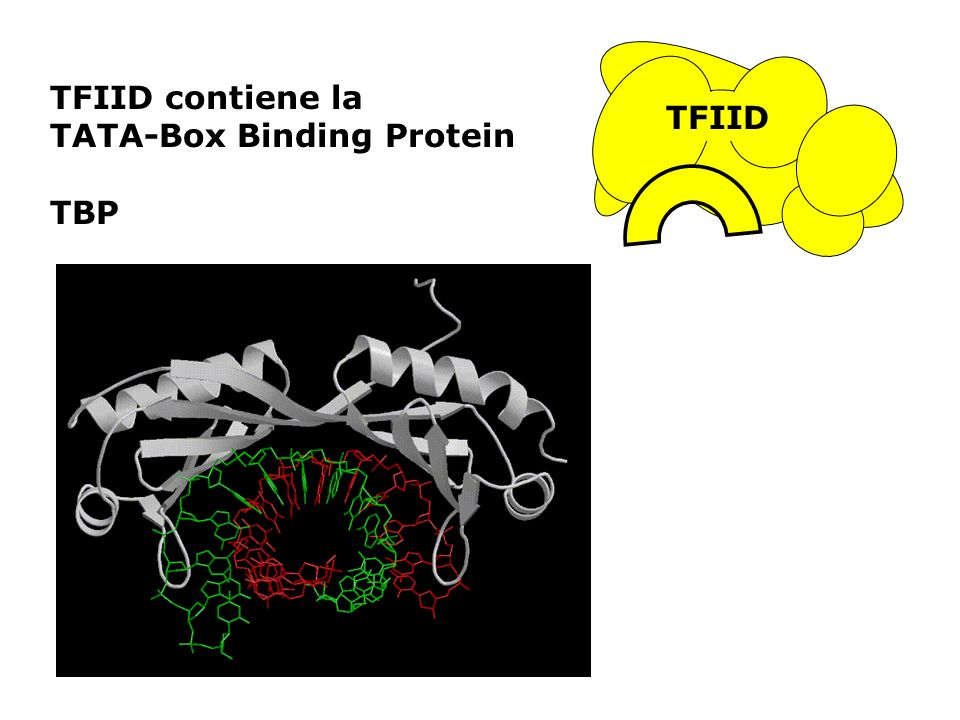 TFIID contiene la TATA-Box Binding Protein TBP TFIID