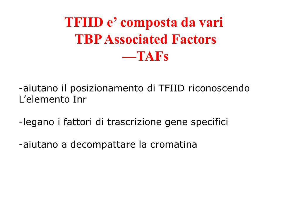 TFIID e composta da vari TBP Associated Factors TAFs -aiutano il posizionamento di TFIID riconoscendo Lelemento Inr -legano i fattori di trascrizione