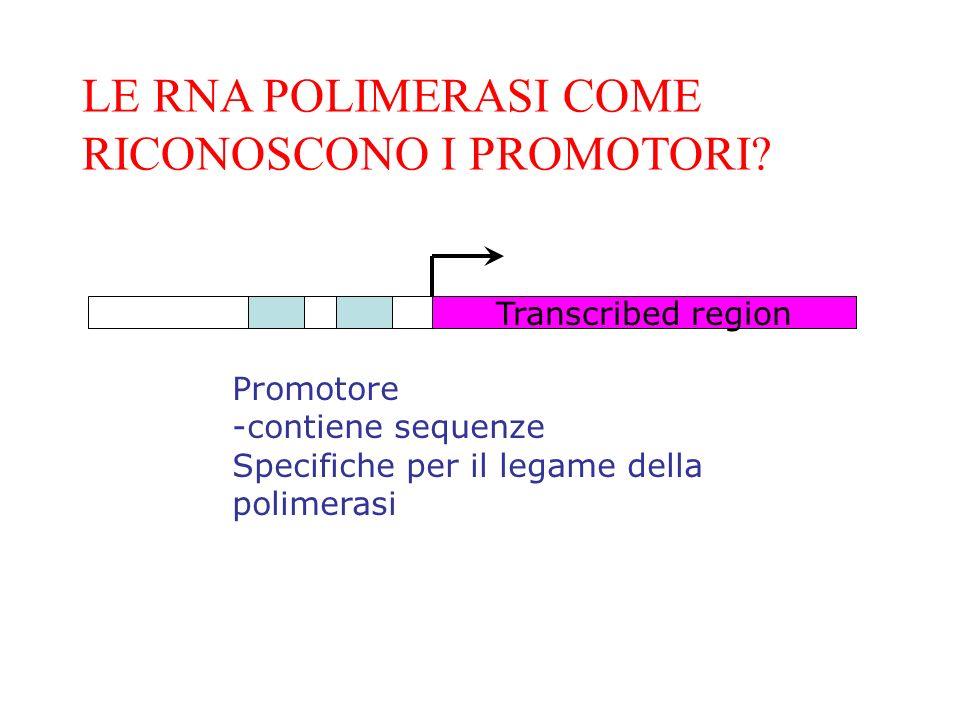 LE RNA POLIMERASI COME RICONOSCONO I PROMOTORI? Transcribed region Promotore -contiene sequenze Specifiche per il legame della polimerasi