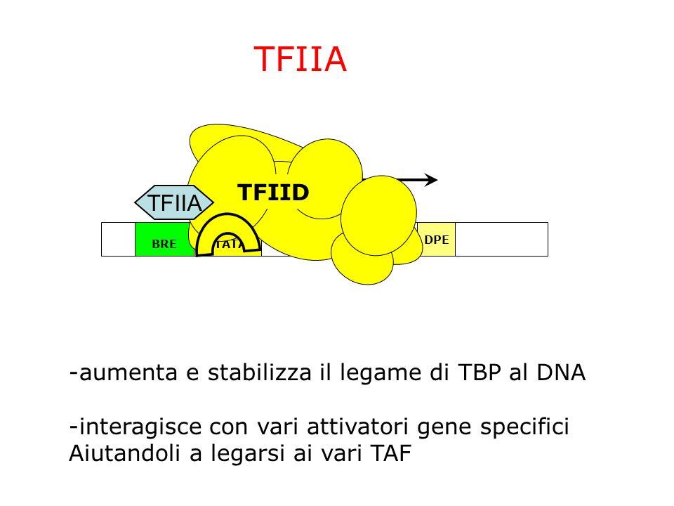 ~24bp TATABRE InrDPE TFIID TFIIA -aumenta e stabilizza il legame di TBP al DNA -interagisce con vari attivatori gene specifici Aiutandoli a legarsi ai