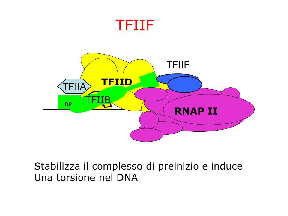 ~24bp TATABRE InrDPE TFIID TFIIA TFIIB TFIIF RNAP II TFIIF Stabilizza il complesso di preinizio e induce Una torsione nel DNA