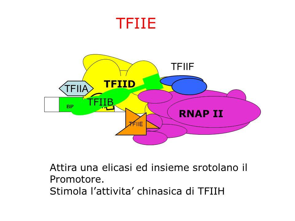 ~24bp TATABRE InrDPE TFIID TFIIA TFIIB TFIIF RNAP II TFIIE Attira una elicasi ed insieme srotolano il Promotore. Stimola lattivita chinasica di TFIIH