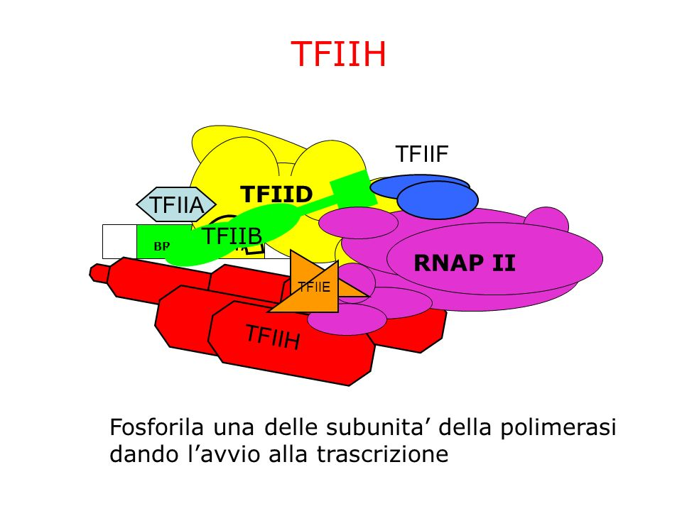 ~24bp TATABRE InrDPE TFIIH TFIID TFIIA TFIIB TFIIF RNAP II TFIIE TFIIH Fosforila una delle subunita della polimerasi dando lavvio alla trascrizione