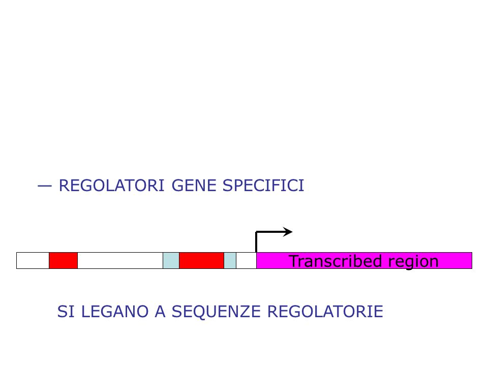 REGOLATORI GENE SPECIFICI Transcribed region SI LEGANO A SEQUENZE REGOLATORIE
