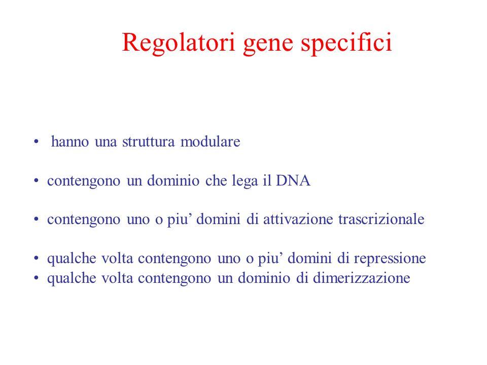 Regolatori gene specifici hanno una struttura modulare contengono un dominio che lega il DNA contengono uno o piu domini di attivazione trascrizionale