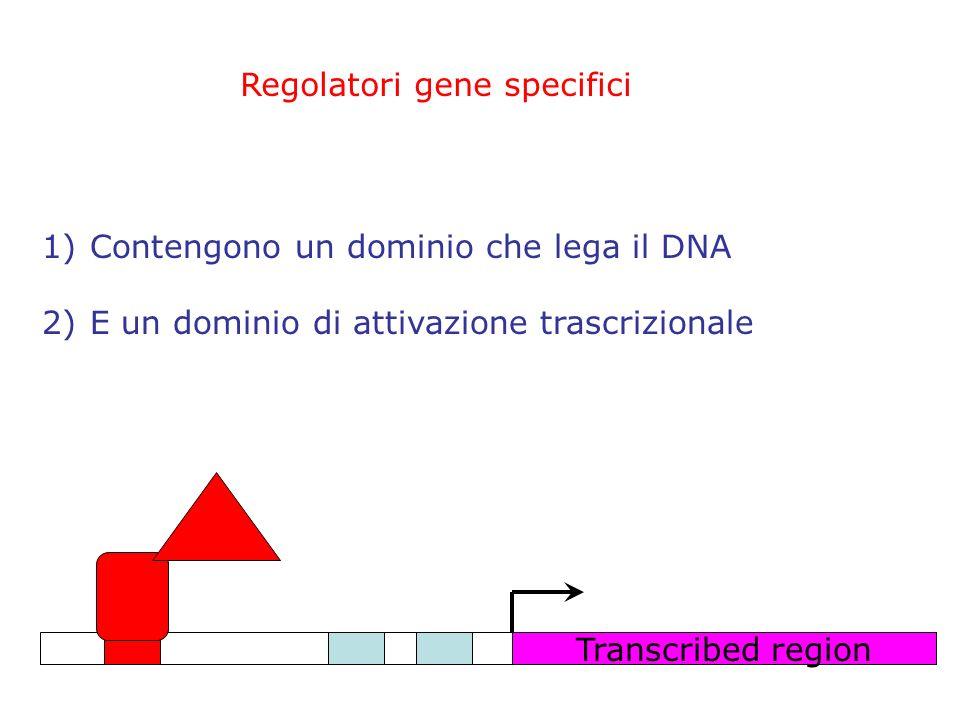 Transcribed region Regolatori gene specifici 1)Contengono un dominio che lega il DNA 2)E un dominio di attivazione trascrizionale