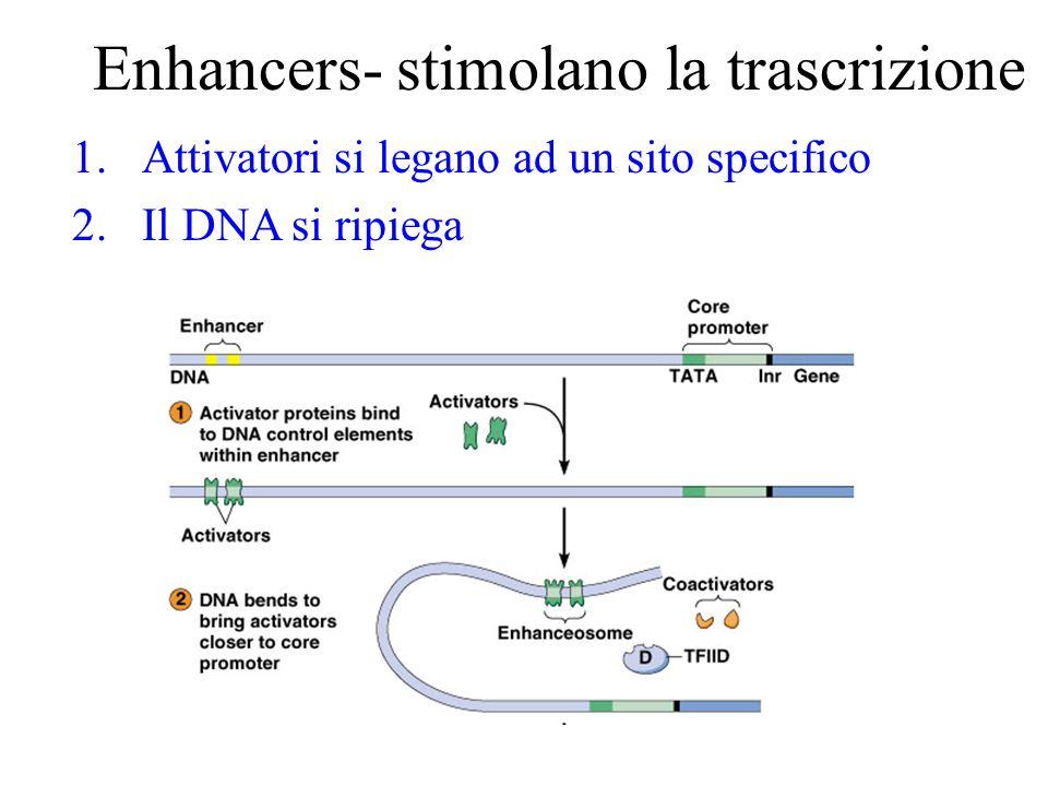 Enhancers- stimolano la trascrizione 1.Attivatori si legano ad un sito specifico 2.Il DNA si ripiega