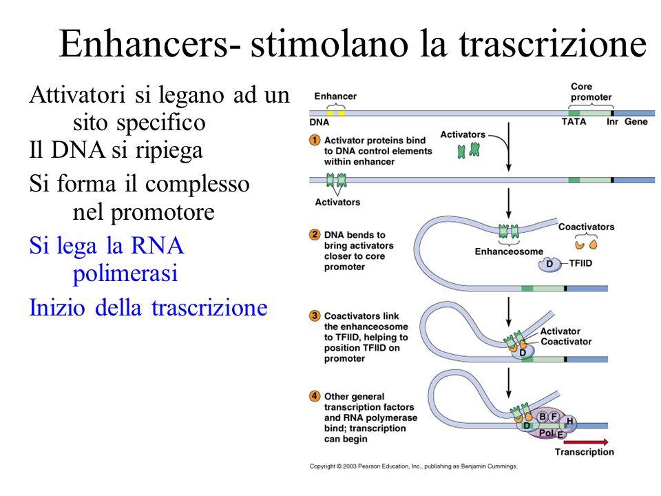 Enhancers- stimolano la trascrizione Attivatori si legano ad un sito specifico Il DNA si ripiega Si forma il complesso nel promotore Si lega la RNA po