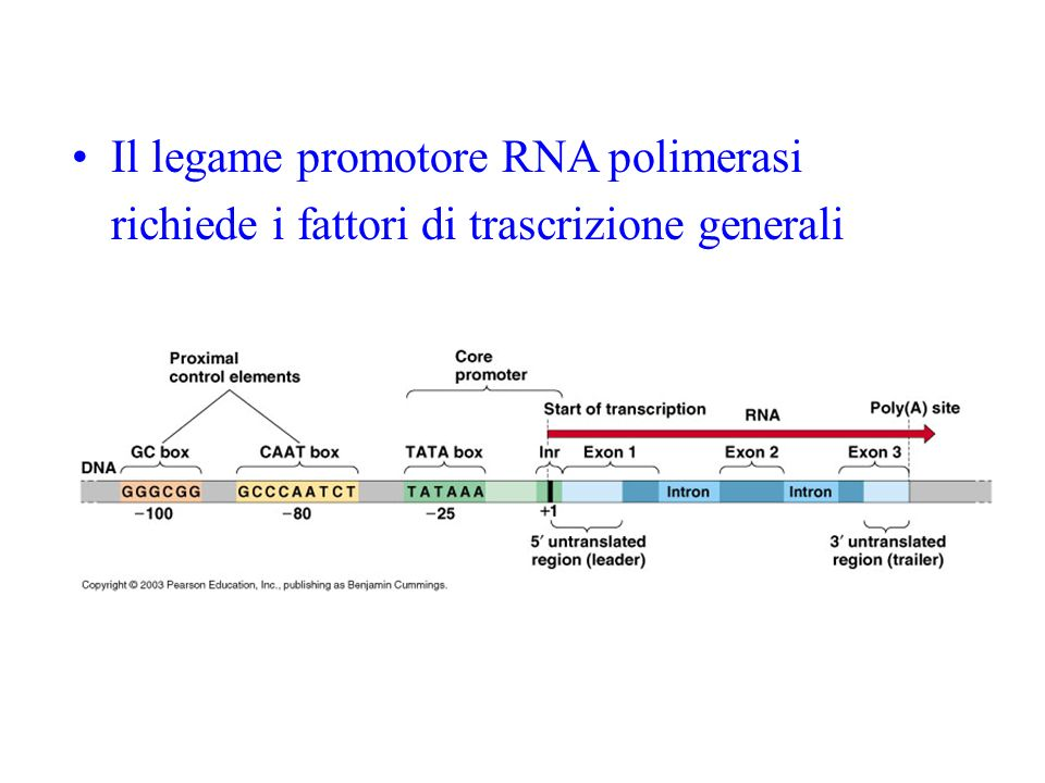 Il legame promotore RNA polimerasi richiede i fattori di trascrizione generali