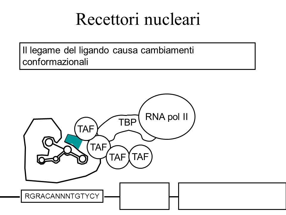 Recettori nucleari RGRACANNNTGTYCY TBP TAF RNA pol II Il legame del ligando causa cambiamenti conformazionali