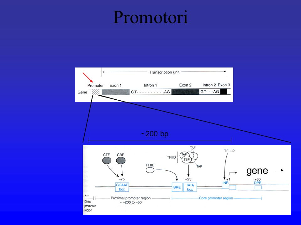 Reporter gene COME IDENTIFICARE ELEMENTI NEL PROMOTORE eg CAT, luciferase ATTIVITA 100% Reporter gene 100% Reporter gene 20% Reporter gene 1% Reporter gene 0%