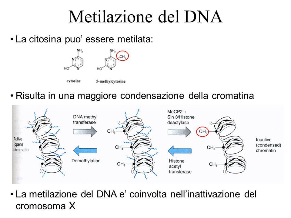 Metilazione del DNA La citosina puo essere metilata: La metilazione del DNA e coinvolta nellinattivazione del cromosoma X Risulta in una maggiore cond