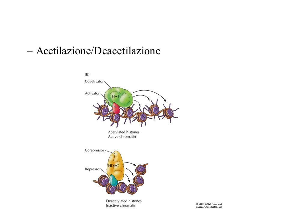 –Acetilazione/Deacetilazione