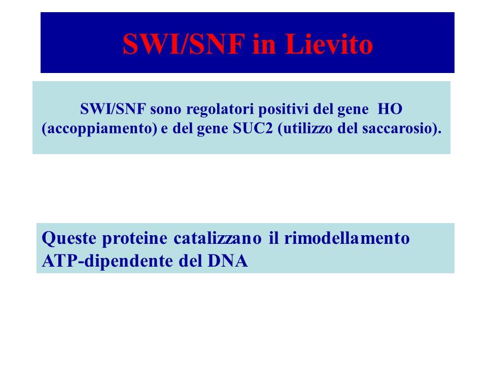 SWI/SNF in Lievito SWI/SNF sono regolatori positivi del gene HO (accoppiamento) e del gene SUC2 (utilizzo del saccarosio). Queste proteine catalizzano