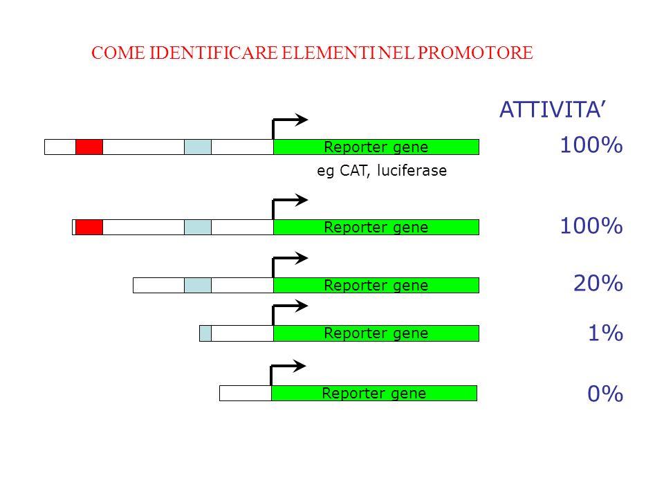Reporter gene COME IDENTIFICARE ELEMENTI NEL PROMOTORE eg CAT, luciferase ATTIVITA 100% Reporter gene 100% Reporter gene 20% Reporter gene 1% Reporter