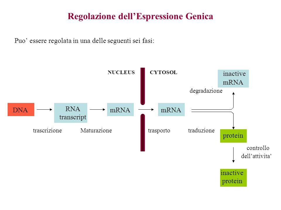 Regolazione dellEspressione Genica Puo essere regolata in una delle seguenti sei fasi: DNA RNA transcript mRNA inactive mRNA protein inactive protein