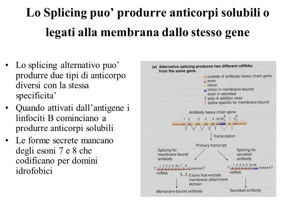 Lo Splicing puo produrre anticorpi solubili o legati alla membrana dallo stesso gene Lo splicing alternativo puo produrre due tipi di anticorpo diversi con la stessa specificita Quando attivati dallantigene i linfociti B cominciano a produrre anticorpi solubili Le forme secrete mancano degli esoni 7 e 8 che codificano per domini idrofobici