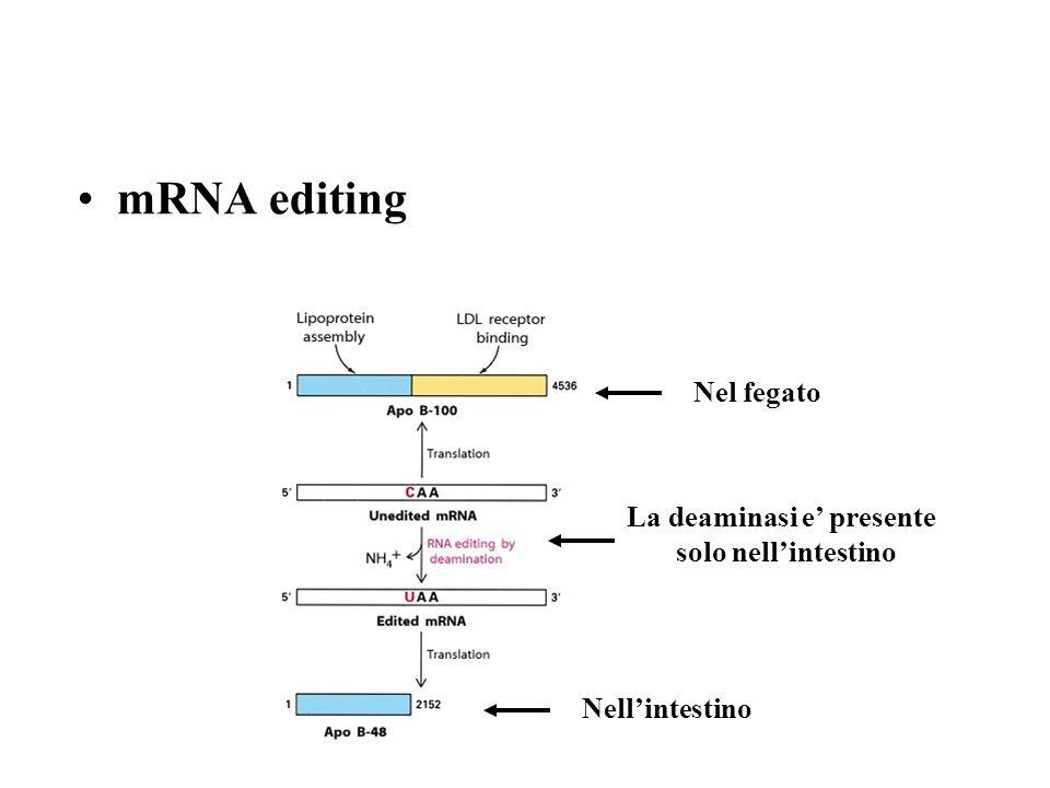 mRNA editing Nellintestino La deaminasi e presente solo nellintestino Nel fegato