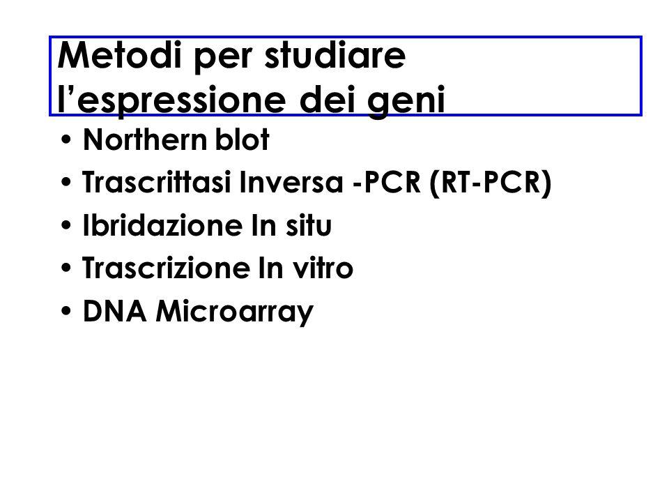 Metodi per studiare lespressione dei geni Northern blot Trascrittasi Inversa -PCR (RT-PCR) Ibridazione In situ Trascrizione In vitro DNA Microarray