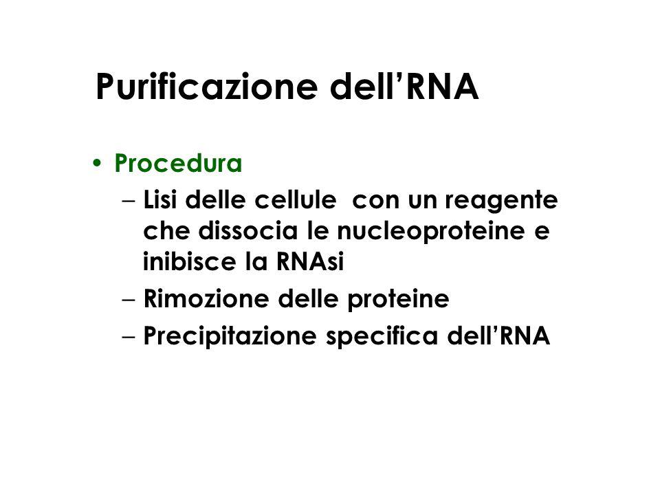 Purificazione dellRNA Procedura – Lisi delle cellule con un reagente che dissocia le nucleoproteine e inibisce la RNAsi – Rimozione delle proteine – P