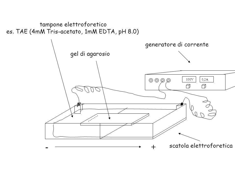100V0,2A +- generatore di corrente gel di agarosio scatola elettroforetica tampone elettroforetico es. TAE (4mM Tris-acetato, 1mM EDTA, pH 8.0)