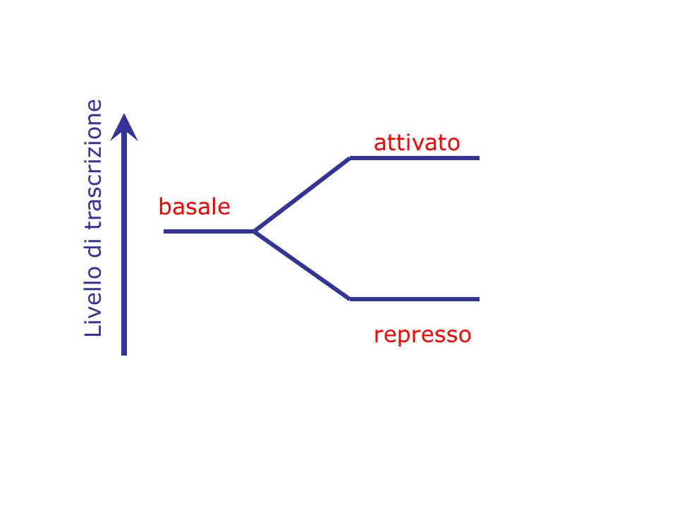 Transcribed region Elementi del Core promoter siti di legame per I fattori di trascrizione generali Che supportano un livello di trascrizione basale La regolazione della trascrizione e ottenuta dalla Azione di fattori di trascrizione gene-specifici