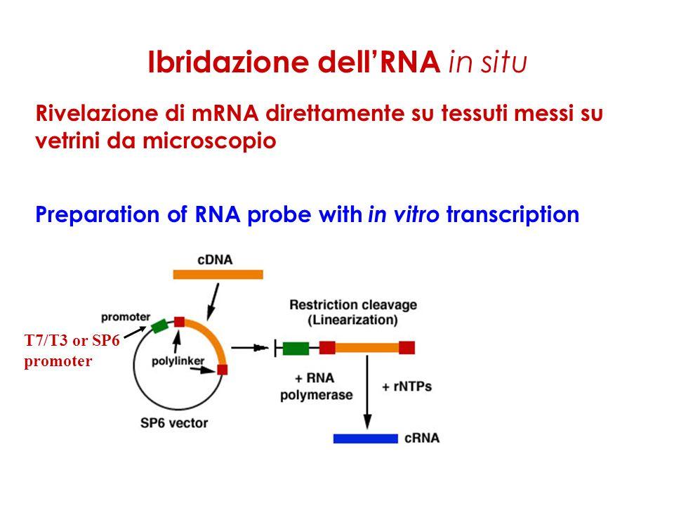 Ibridazione dellRNA in situ Rivelazione di mRNA direttamente su tessuti messi su vetrini da microscopio Preparation of RNA probe with in vitro transcription T7/T3 or SP6 promoter
