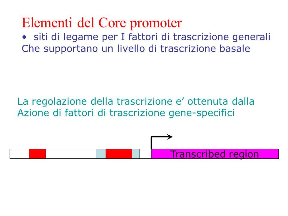 Transcribed region Elementi del Core promoter siti di legame per I fattori di trascrizione generali Che supportano un livello di trascrizione basale L