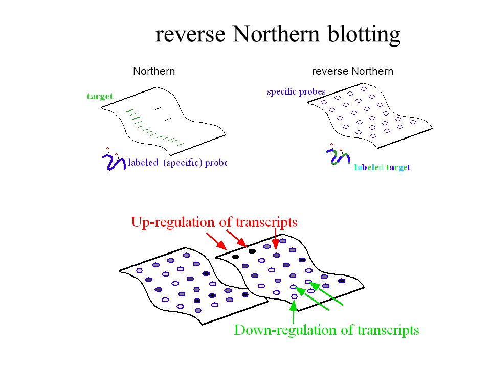 reverse Northern blotting Northernreverse Northern