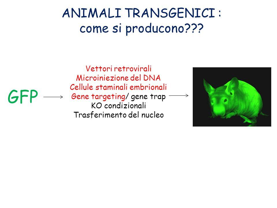 ANIMALI TRANSGENICI : come si producono??? Vettori retrovirali Microiniezione del DNA Cellule staminali embrionali Gene targeting/ gene trap KO condiz