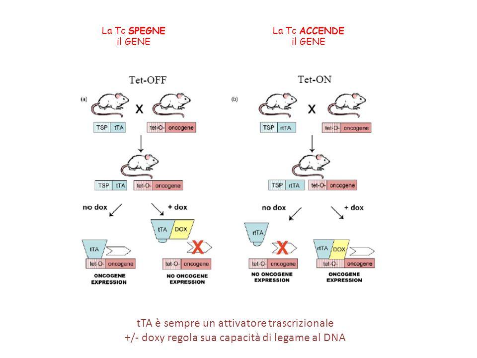 La Tc SPEGNE il GENE La Tc ACCENDE il GENE tTA è sempre un attivatore trascrizionale +/- doxy regola sua capacità di legame al DNA