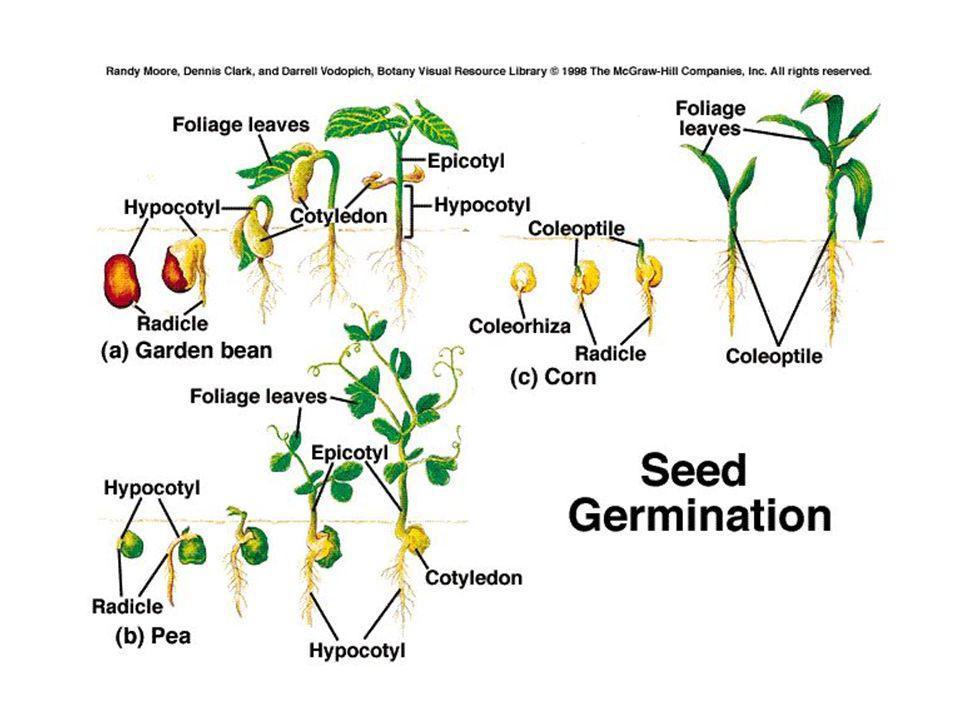 Vi sono semi (Pancratium maritimun, Helichrysum italicum, Rosmarinus officinalis) in cui il buio favorisce la germinazione mentre altri sono favoriti dalla luce (Arbutus unedo, Myrtus communis, Paulownia tomentosa).