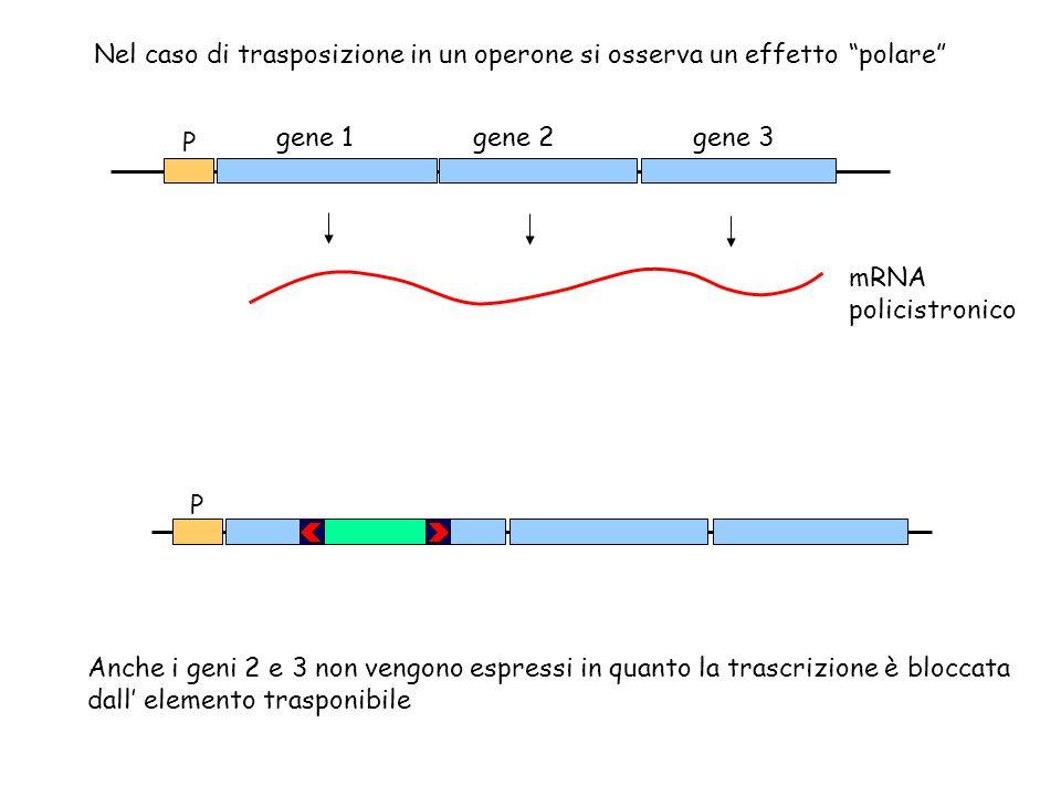 gene 1 P gene 2gene 3 mRNA policistronico P Nel caso di trasposizione in un operone si osserva un effetto polare Anche i geni 2 e 3 non vengono espres