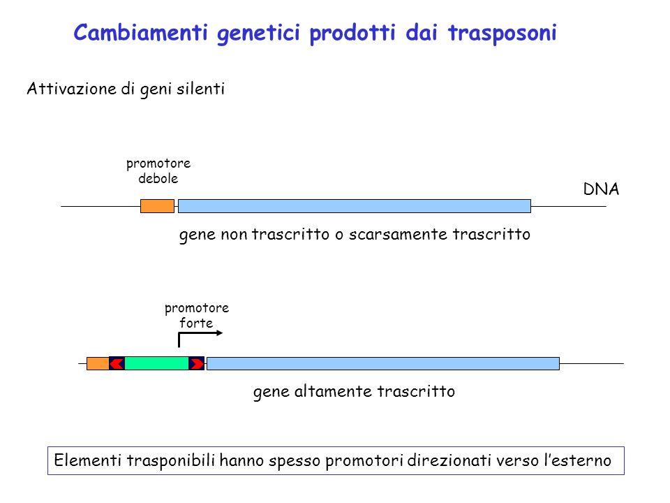 Cambiamenti genetici prodotti dai trasposoni Attivazione di geni silenti promotore debole DNA gene non trascritto o scarsamente trascritto gene altame