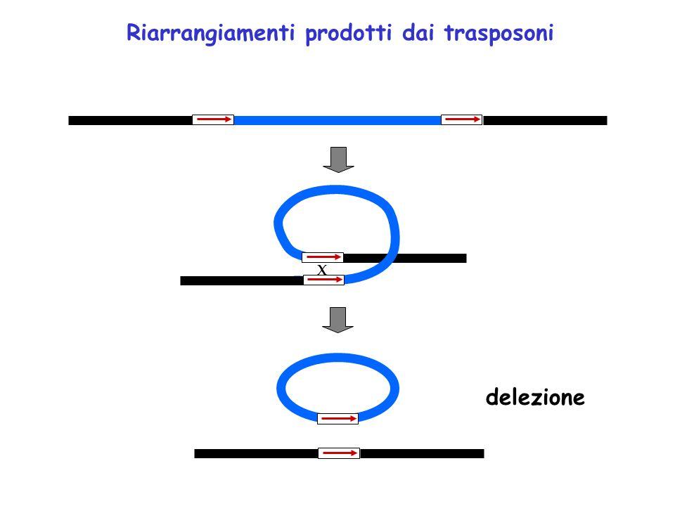X Riarrangiamenti prodotti dai trasposoni delezione