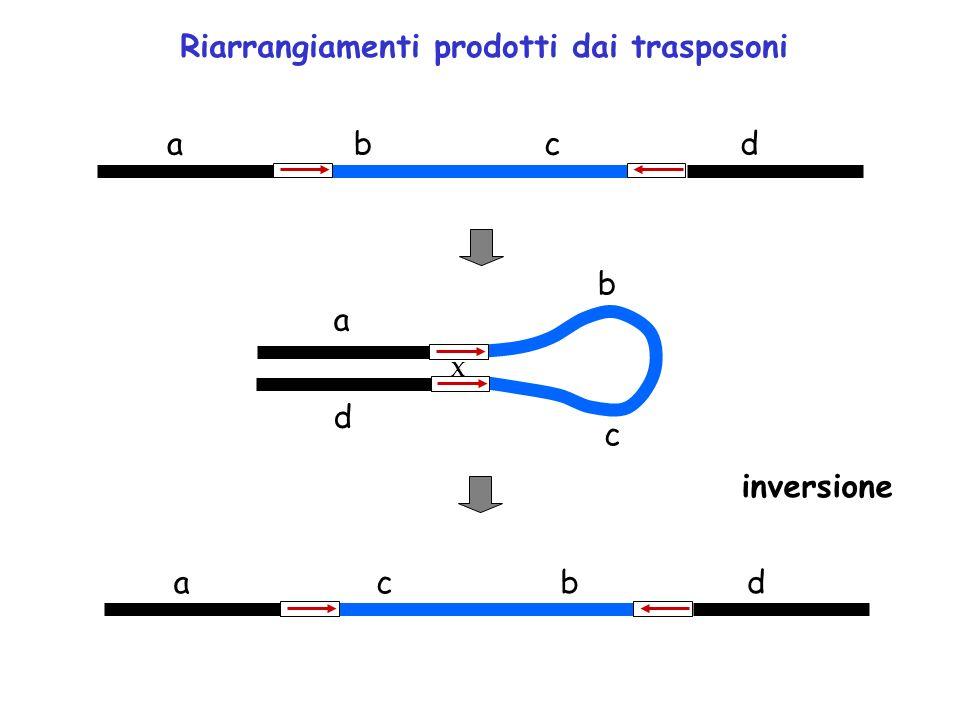 X Riarrangiamenti prodotti dai trasposoni inversione ad a d ad bc b c cb