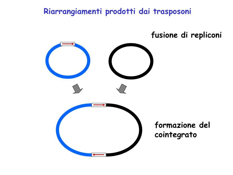 Riarrangiamenti prodotti dai trasposoni fusione di repliconi formazione del cointegrato