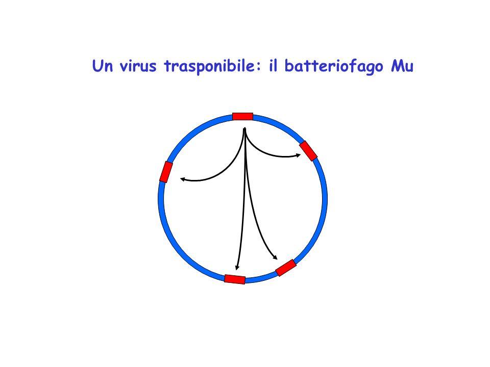 Un virus trasponibile: il batteriofago Mu E un virus temperato In seguito ad infezione, il suo DNA si integra in siti distribuiti casualmente sul crom