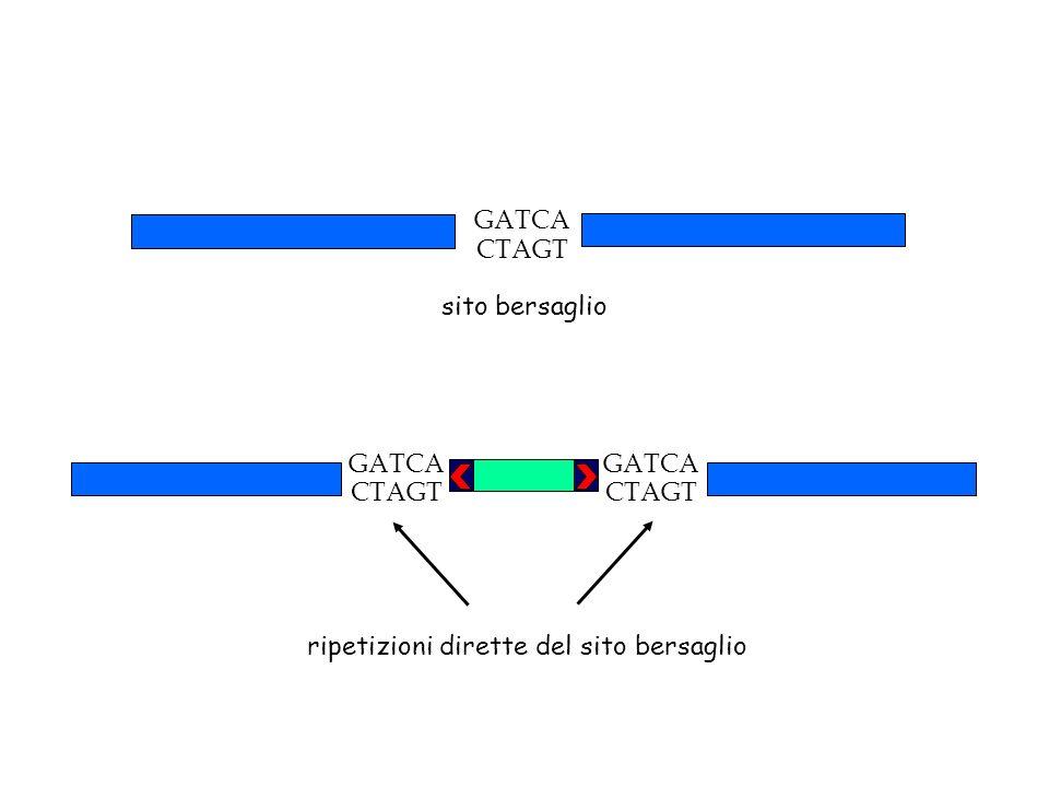 GATCA CTAGT sito bersaglio ripetizioni dirette del sito bersaglio GATCA CTAGT GATCA CTAGT