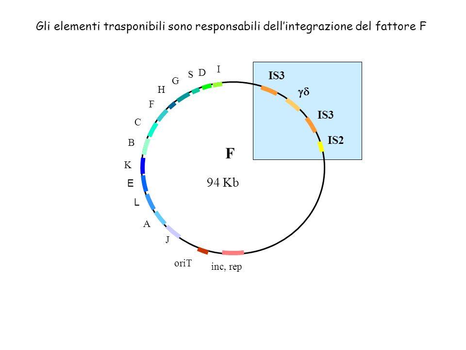 IS3 IS3 IS2 inc, rep oriT A L E B C F H G S D I F J K 94 Kb Gli elementi trasponibili sono responsabili dellintegrazione del fattore F