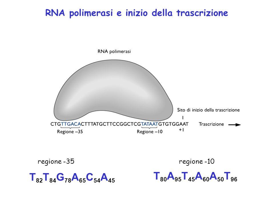 T 82 T 84 G 78 A 65 C 54 A 45 T 80 A 95 T 45 A 60 A 50 T 96 regione -35regione -10 RNA polimerasi e inizio della trascrizione