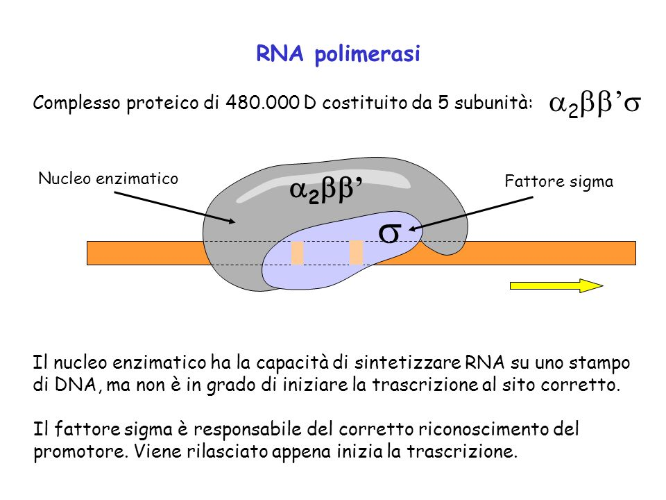 RNA polimerasi Complesso proteico di 480.000 D costituito da 5 subunità: 2 Nucleo enzimatico Fattore sigma Il nucleo enzimatico ha la capacità di sint